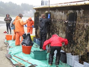 Scientists and volunteers scrape marine organisms from a large chunk of a Japanese dock that washed up on Agate Beach near Newport in June 2012. (Oregon Dept. of Fish and Wildlife Photo)