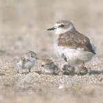 Recovery of coastal populations of the Western Snowy Plover has been dramatic after annual nesting protections were put in place several years ago.  (U.S. Fish and Wildlife Photo)