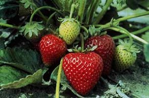Oregon berries may be ready for picking by this weekend.  (Oregon-Strawberries.org)