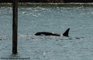 A pod of Orcas visited the Siuslaw River Sunday, May 17th as the Rhododendron Festival was wrapping up.  (Photos by Verne DiPietro)