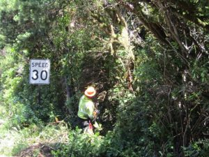 Work crews began hand clearing vegetation along Rhododendron Drive last week as work on extended shoulders gets underway. (City of Florence photo)